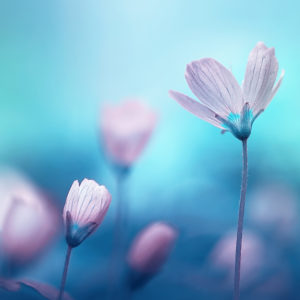 Purple flowers on a blue background